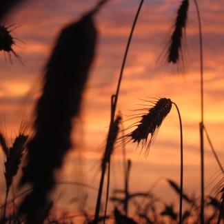 am Weizenfeld